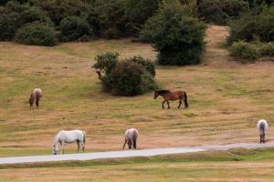 York 02 - New Forest Horses 1