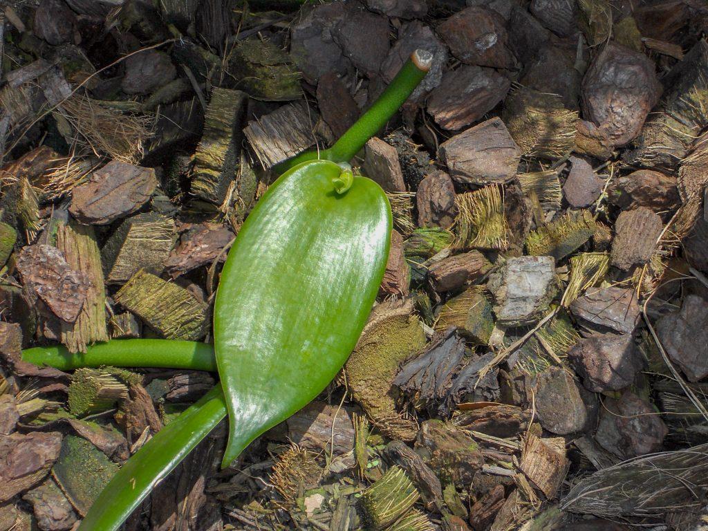 Baby Vanilla Plant
