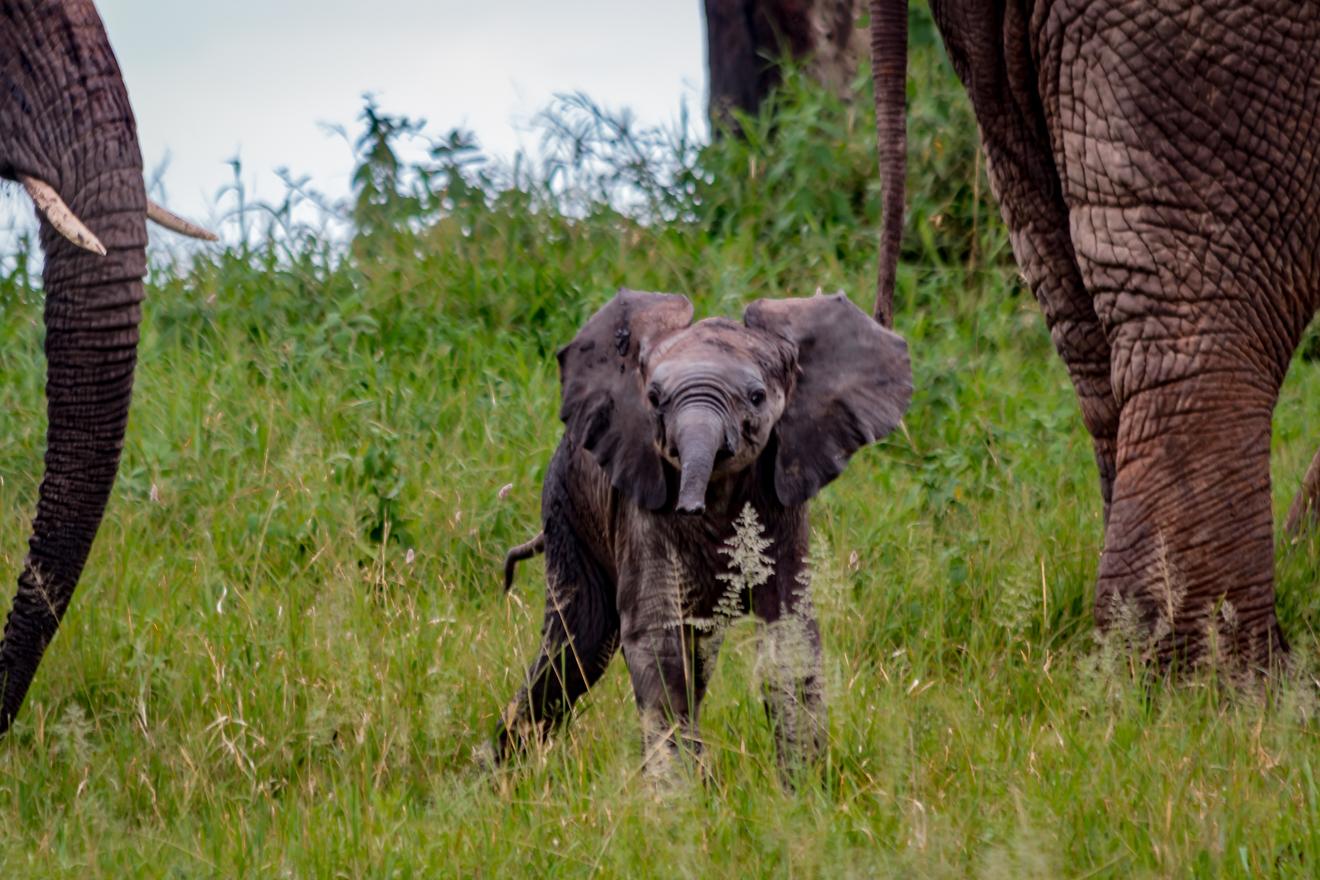 Africa, Elephants, Tanzania, Tarangire, Telephoto Contest