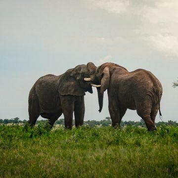Africa, Elephants, Tanzania, Tarangire