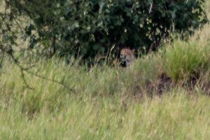 Africa, Cheetah, Tanzania, Tarangire