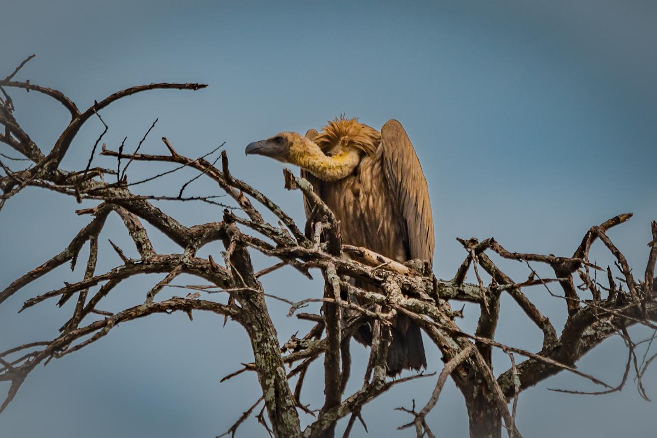 Africa, Birds, Tanzania, Tarangire, Telephoto Contest, Vulture