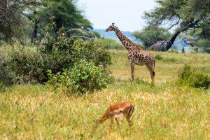 Africa, Giraffe, Impala, Tanzania, Tarangire