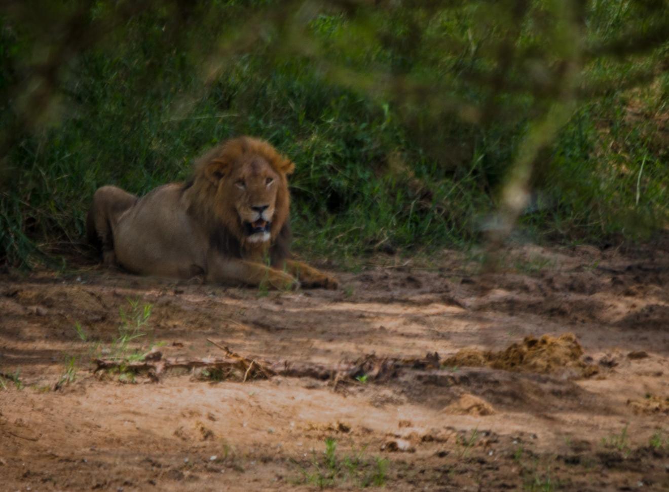 Africa, Lions, Tanzania, Tarangire